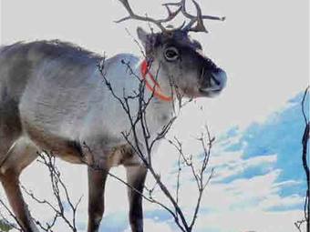 En rappel: article du magazine Air sur le caribou forestier